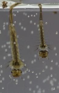 20140526_larven